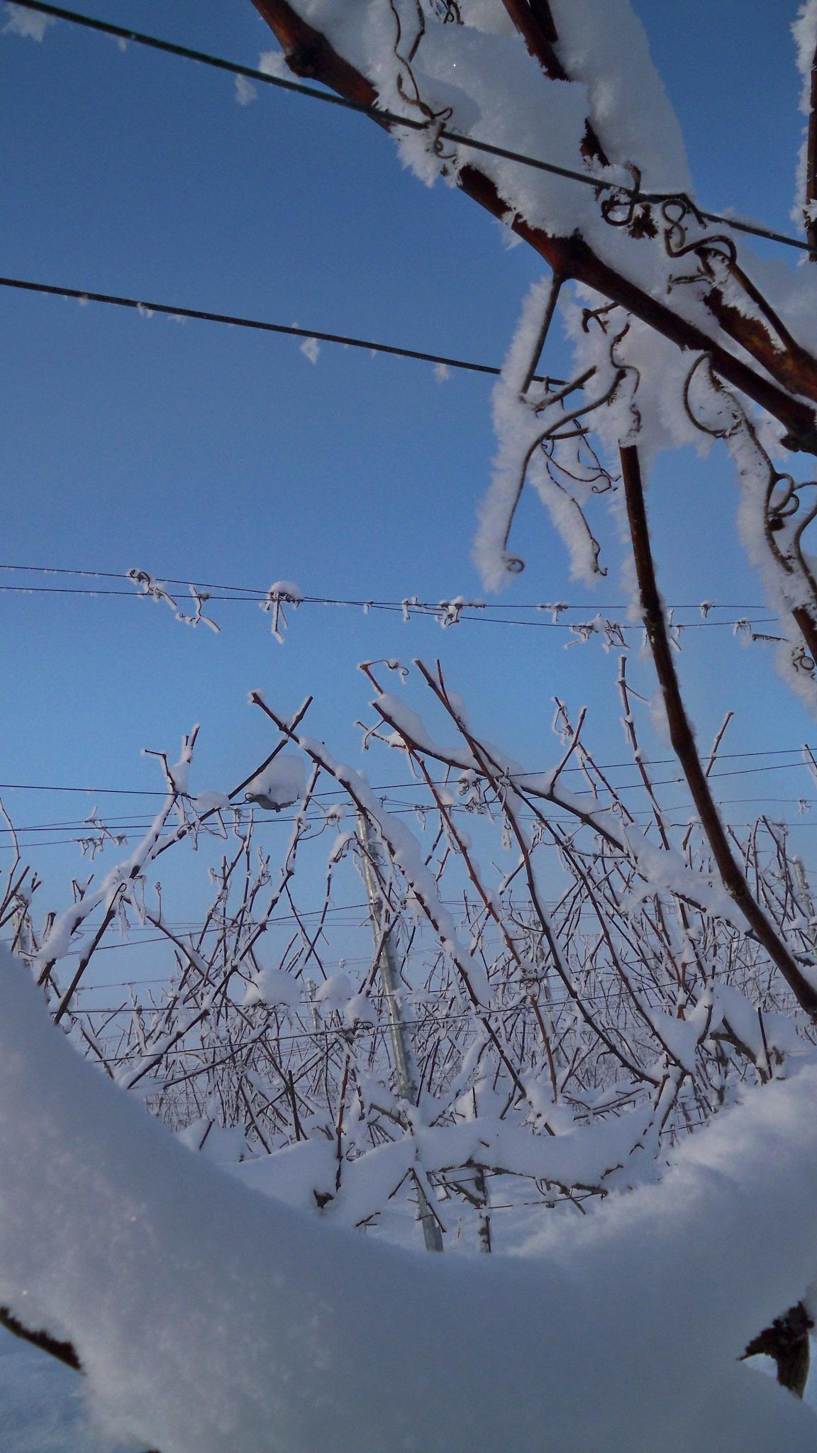 Winter wijngaard