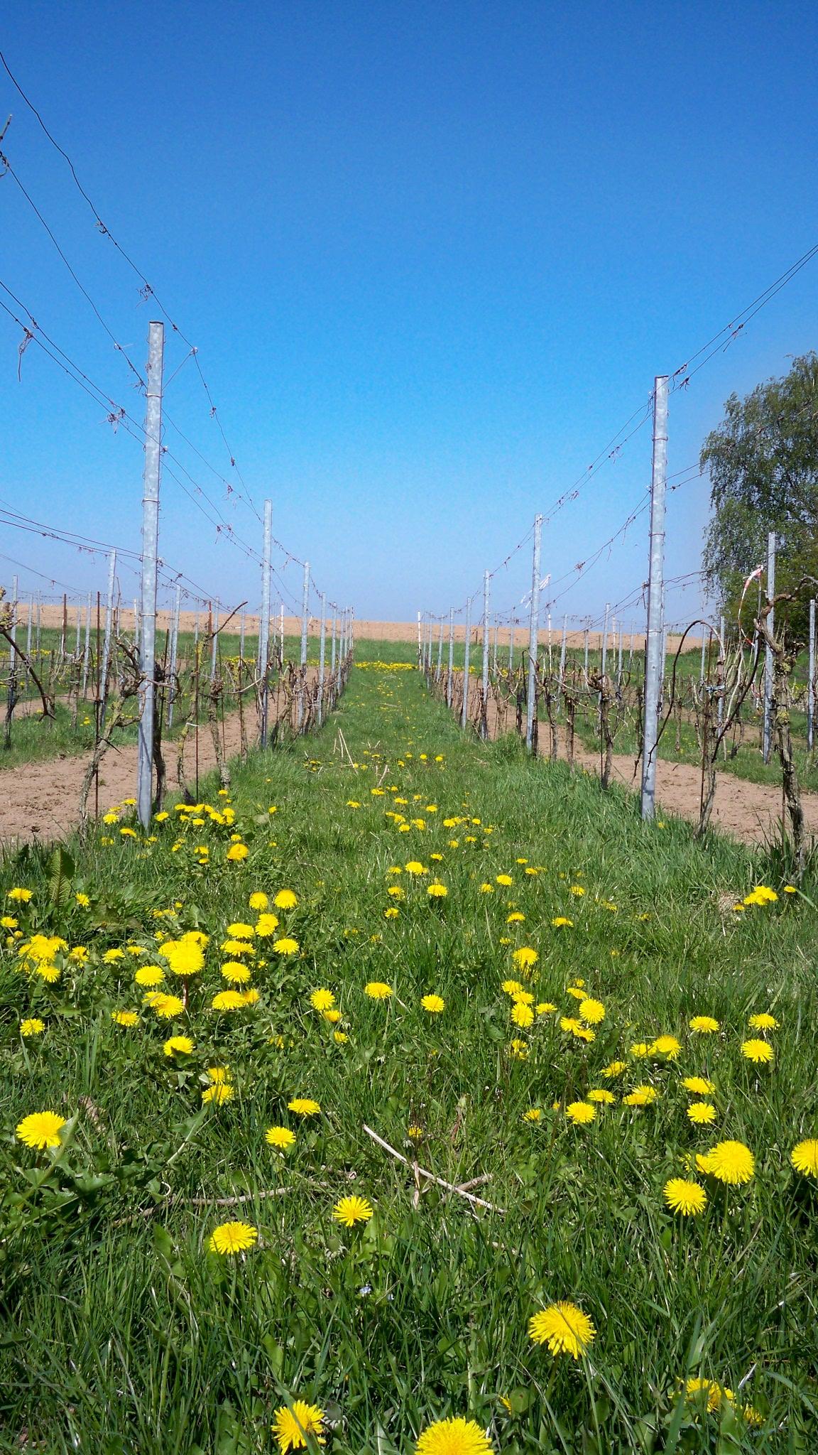 Wijngaard van Ditshuizen