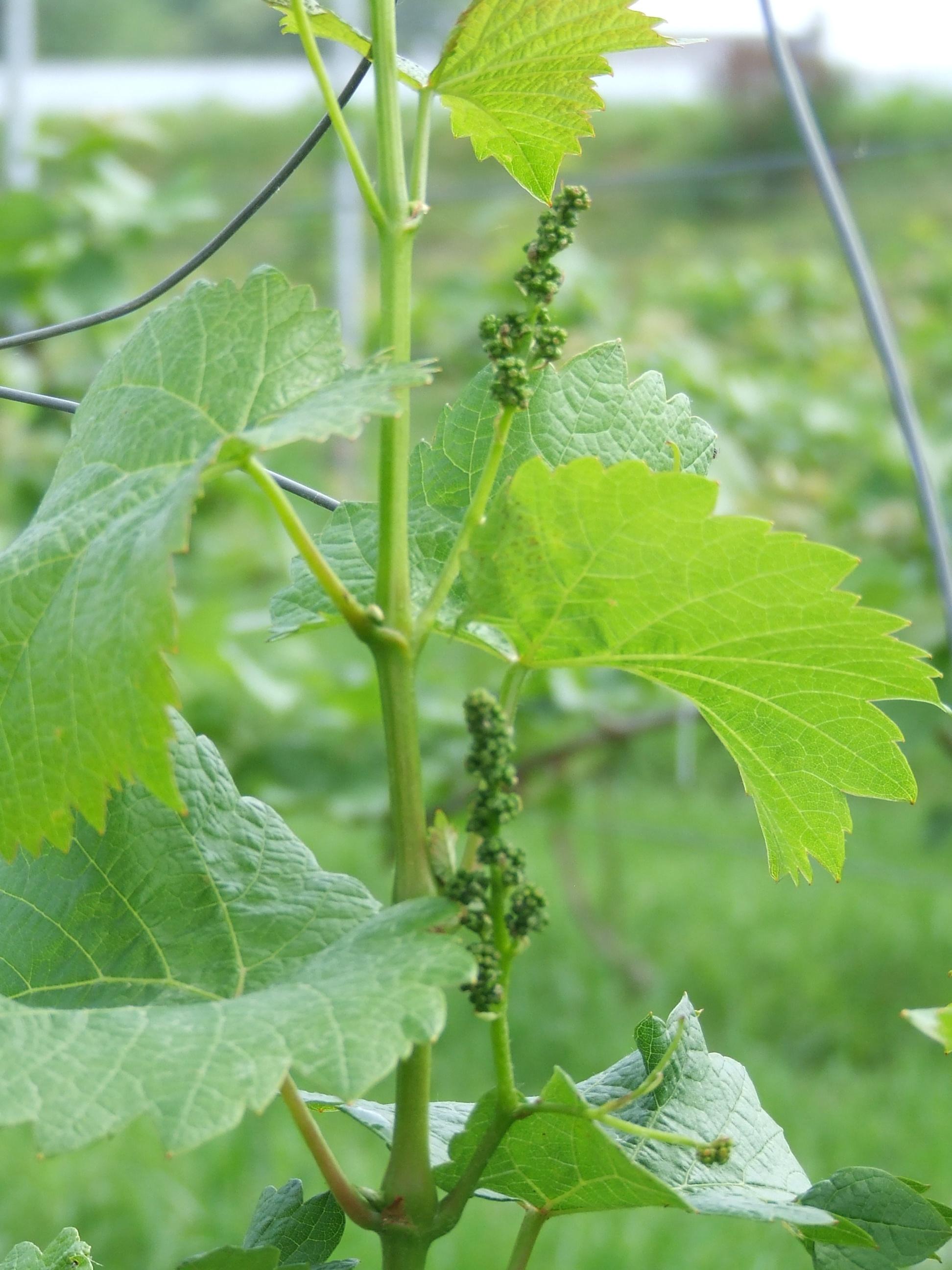 Groei van druiven