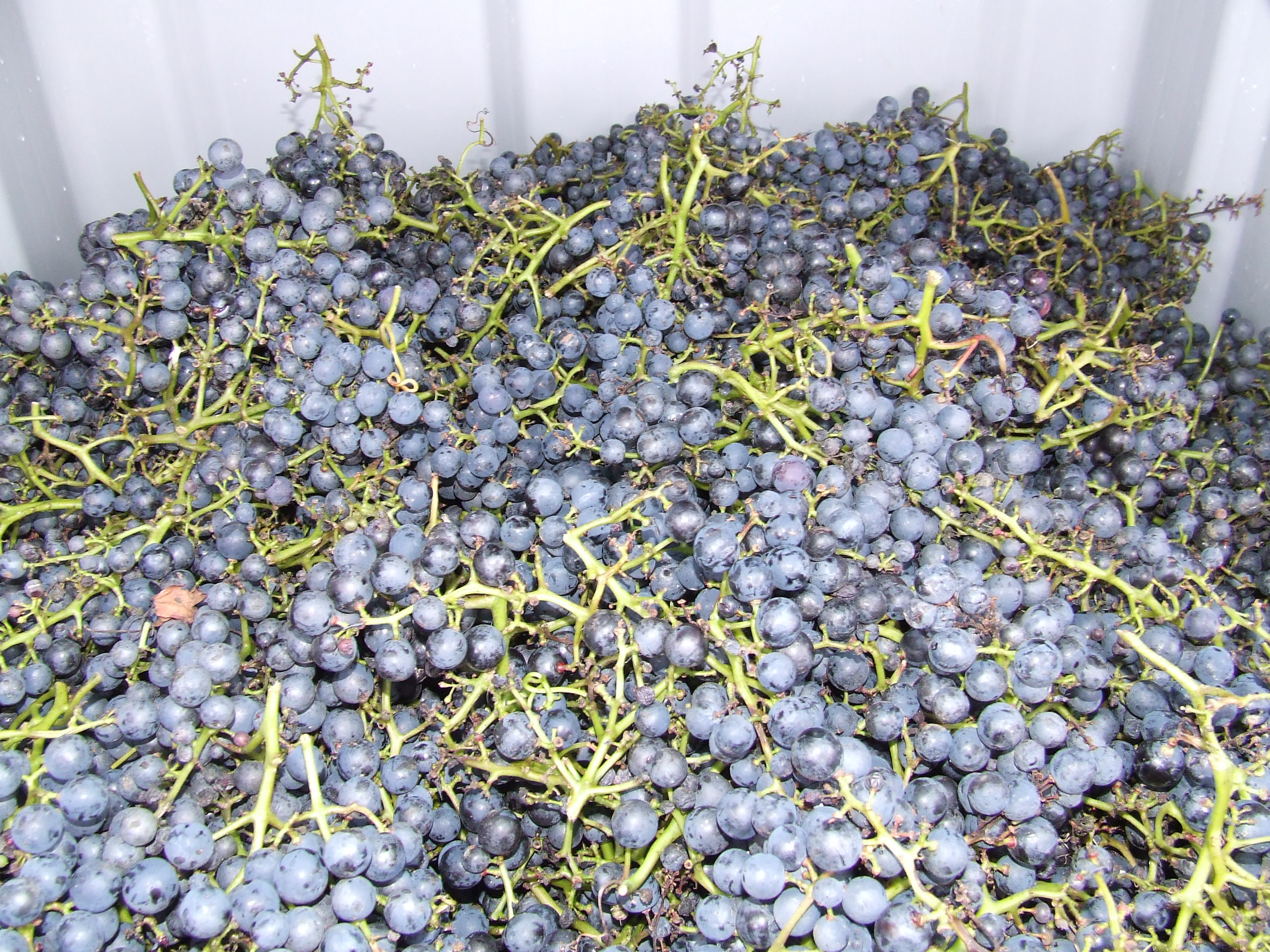 Druiven voor wijn