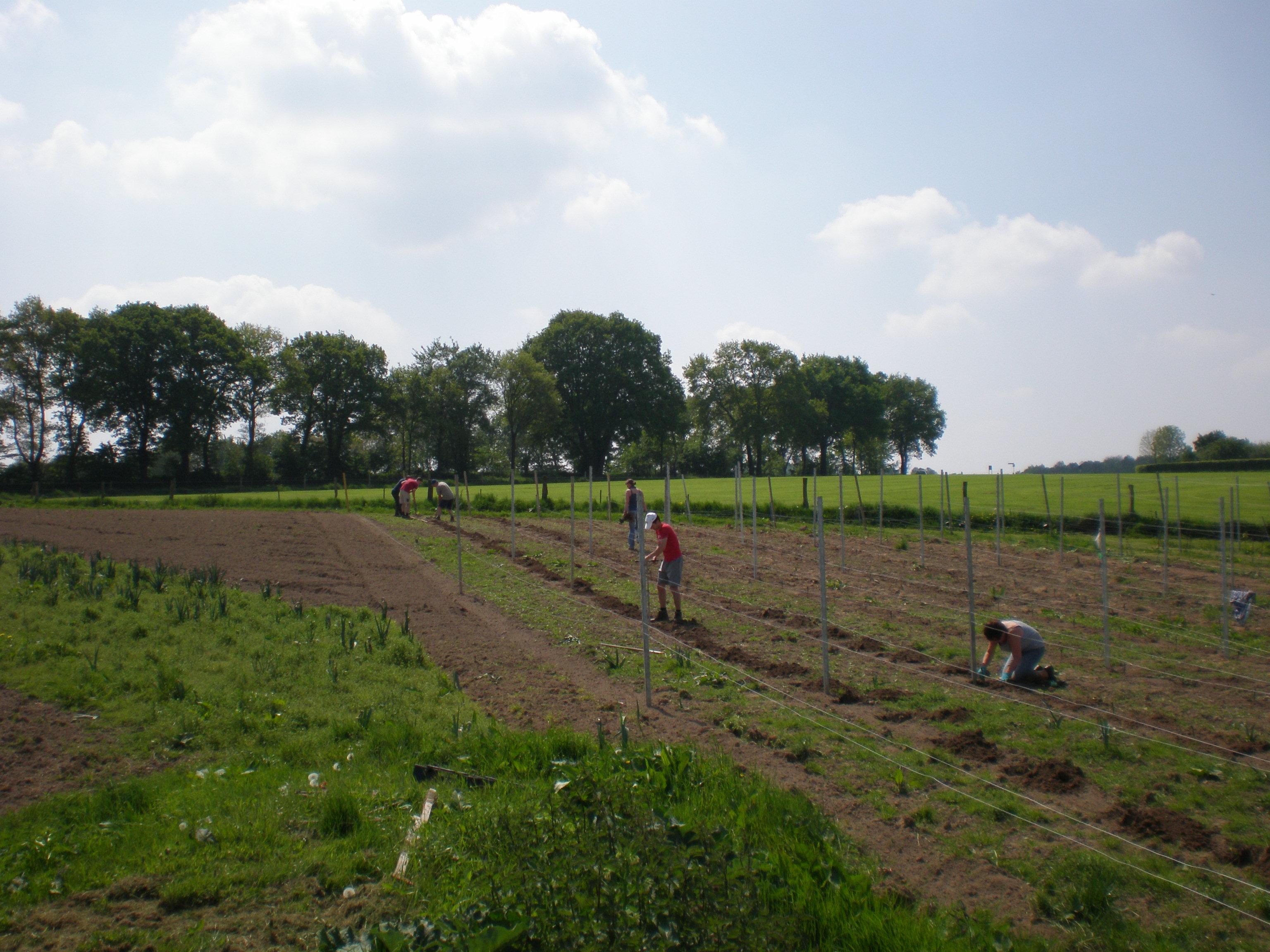 Druiven aanplanten
